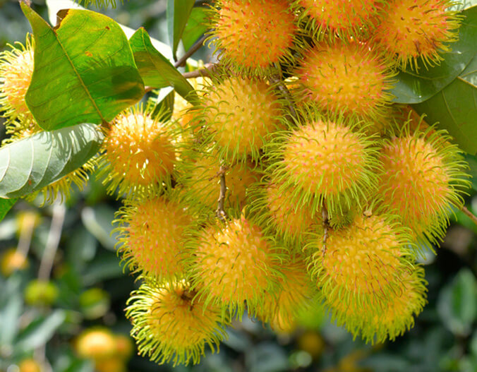 Yellow Rambutan Sri Lanka